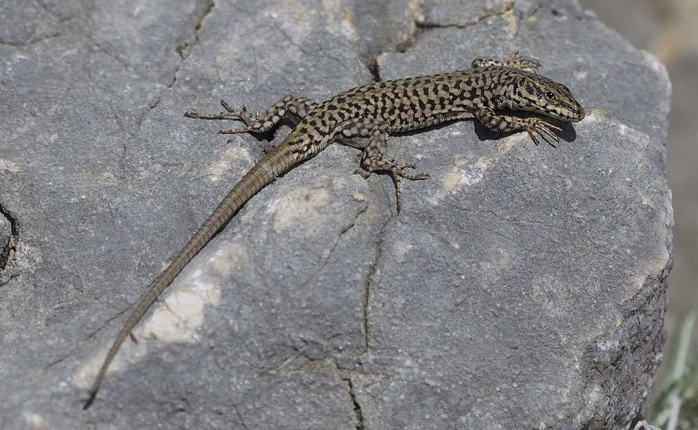 Le Lézard catalan Podarcis liolepis (Boulenger, 1905)