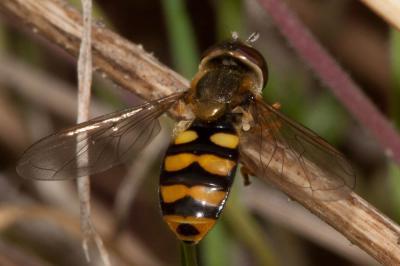Eupeodes latifasciatus (Macquart, 1829)