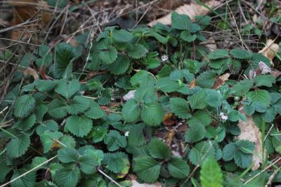 Potentille à petites fleurs Potentilla micrantha Ramond ex DC., 1805