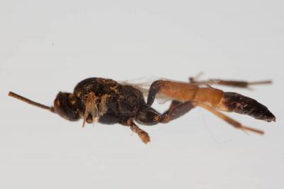 Ichneumonidae Latreille, 1802