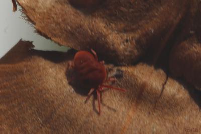 Eutrombidium