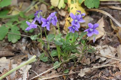 Violette de Rivinus, Violette de rivin Viola riviniana Rchb., 1823