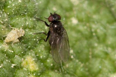 Agromyzidae Fallén, 1810