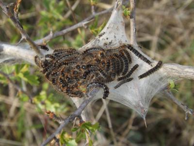 Bombyx Evérie (Le) Laineuse du Prunellier (La) Eriogaster catax (Linnaeus, 1758)