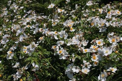 Rosier toujours vert, Rosier de tous les mois Rosa sempervirens L., 1753