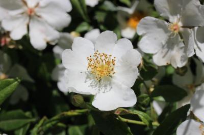 Rosa sempervirens