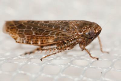 Allygidius
