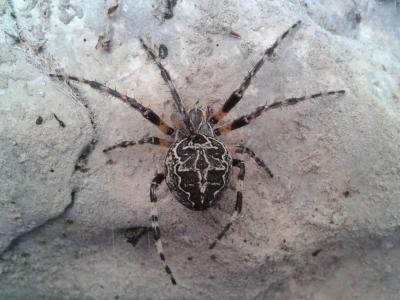 Larinioides sclopetarius (Clerck, 1758)