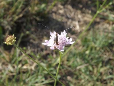 Nemophora raddaella (Hübner, 1793)
