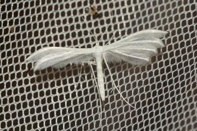 Pterophorus pentadactylus (Linnaeus, 1758)