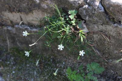 Silène saxifrage Silene saxifraga L., 1753