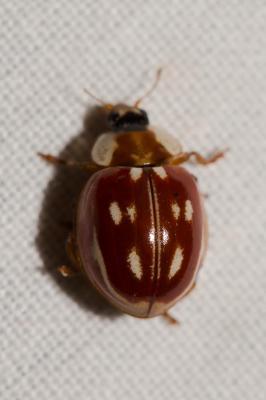 Myzia oblongoguttata (Linnaeus, 1758)