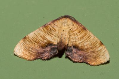 Phalène linéolée (La), Numérie ligneuse (La) Plagodis dolabraria (Linnaeus, 1767)