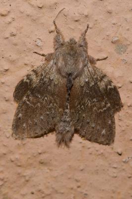 Ecureuil (L'), Staurope du Hêtre (Le) Stauropus fagi (Linnaeus, 1758)