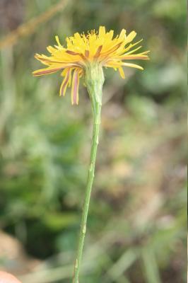 Liondent d'automne Scorzoneroides autumnalis (L.) Moench, 1794