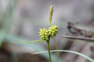 Laîche jaunâtre, Laîche jaune Carex flava L., 1753