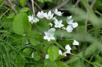 Ail de Naples, Ail blanc Allium neapolitanum Cirillo, 1788