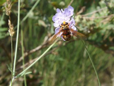 Milésie faux-frelon Milesia crabroniformis (Fabricius, 1775)