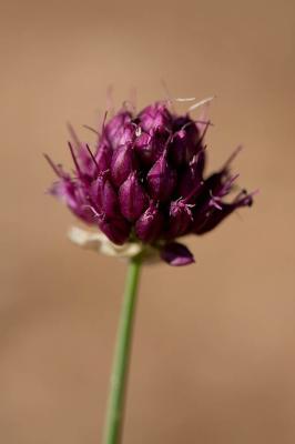 Ail à tête ronde Allium sphaerocephalon L., 1753