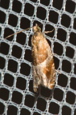 Ancylis obtusana (Haworth, 1811)
