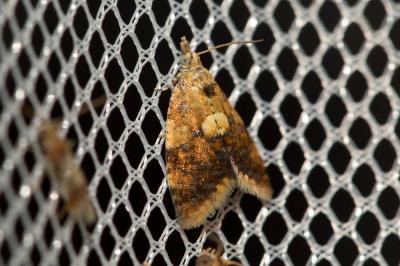 Pseudargyrotoza conwagana (Fabricius, 1775)