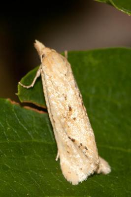 Cochylimorpha
