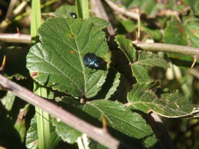 Punaise verte bleuâtre  Zicrona caerulea (Linnaeus, 1758)