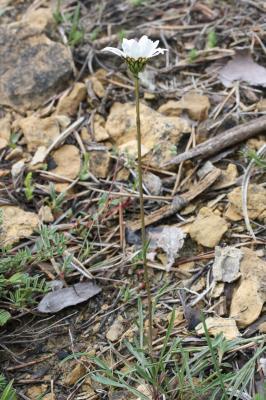 Leucanthème à feuilles de graminées, Marguerite à  Leucanthemum graminifolium (L.) Lam., 1779