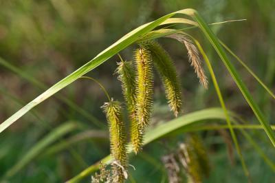 Laîche faux-souchet Carex pseudocyperus L., 1753