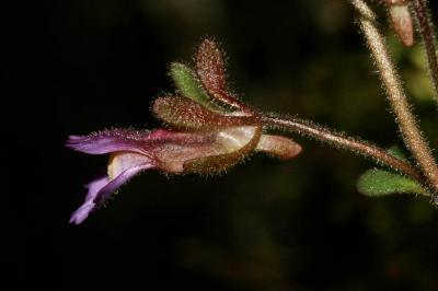 Linaire à feuilles d'Origan, Petite linaire à feui Chaenorrhinum origanifolium (L.) Kostel., 1844