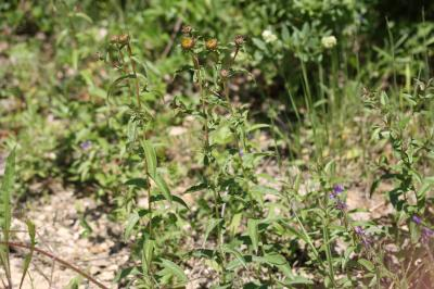 Inule à feuilles de Saule Inula salicina L., 1753