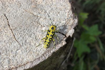 Saperda scalaris (Linnaeus, 1758)