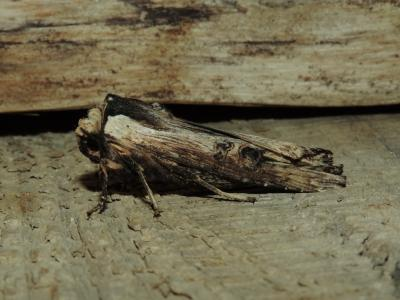 Xylena exsoleta