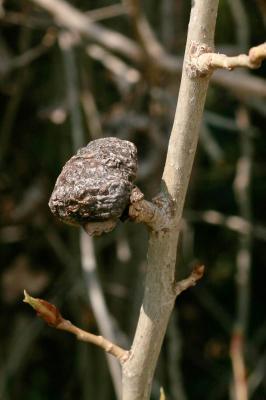 Puceron gallicole des pétioles de peupliers, Pucer Pemphigus bursarius (Linnaeus, 1758)