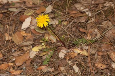 Pissenlit gracile, Pissenlit à feuilles lisses Taraxacum erythrospermum Andrz. ex Besser, 1821