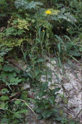Épervière lisse Hieracium laevigatum Willd., 1803
