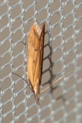 Dichomeris acuminata (Staudinger, 1876)