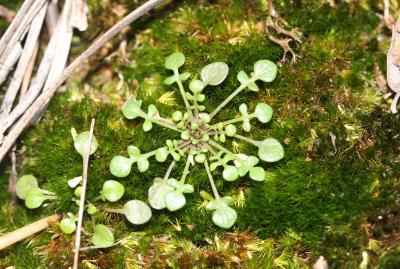 Téesdalie à tige nue Teesdalia nudicaulis (L.) R.Br., 1812