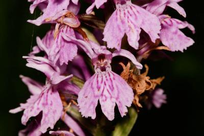 Orchis de Fuchs, Orchis tacheté des bois, Orchis d Dactylorhiza fuchsii (Druce) Soó, 1962