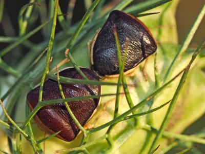 Pentatome de la nigelle Ventocoris rusticus (Fabricius, 1781)
