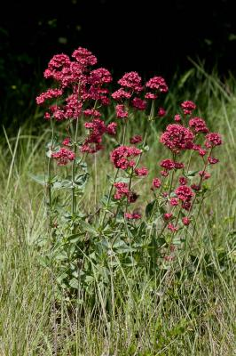 Centranthe rouge, Valériane rouge Centranthus ruber (L.) DC., 1805