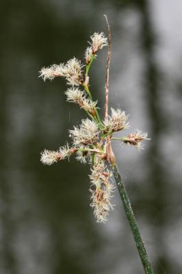Jonc des chaisiers Schoenoplectus lacustris (L.) Palla, 1888