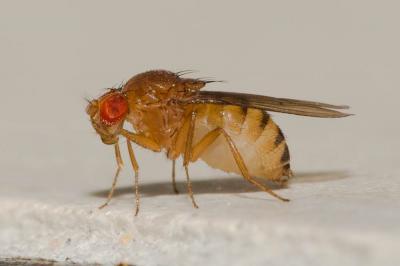 Drosophila histrio Meigen, 1830