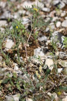 Fer à cheval cilié Hippocrepis ciliata Willd., 1808