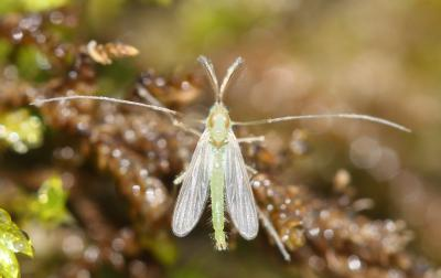 Chironomidés, Ver de vase (larve) Chironomidae Newman, 1834