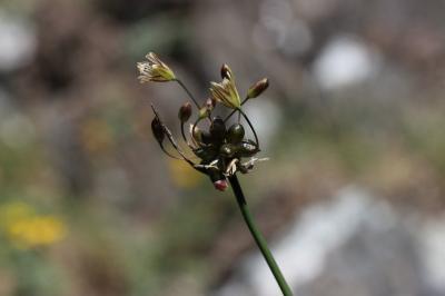 Ail maraîcher, Ail des endroits cultivés Allium oleraceum L., 1753
