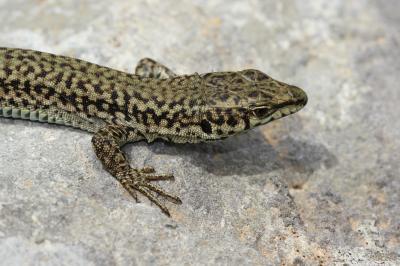 Lézard catalan Podarcis liolepis (Boulenger, 1905)