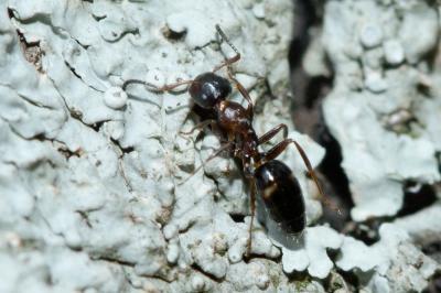 Camponotus truncatus (Spinola, 1808)