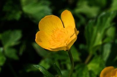 Renoncule rampante Ranunculus repens L., 1753
