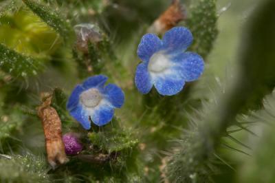 Lycopside des champs Lycopsis arvensis L., 1753